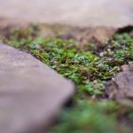 Moss growing in the patio cracks